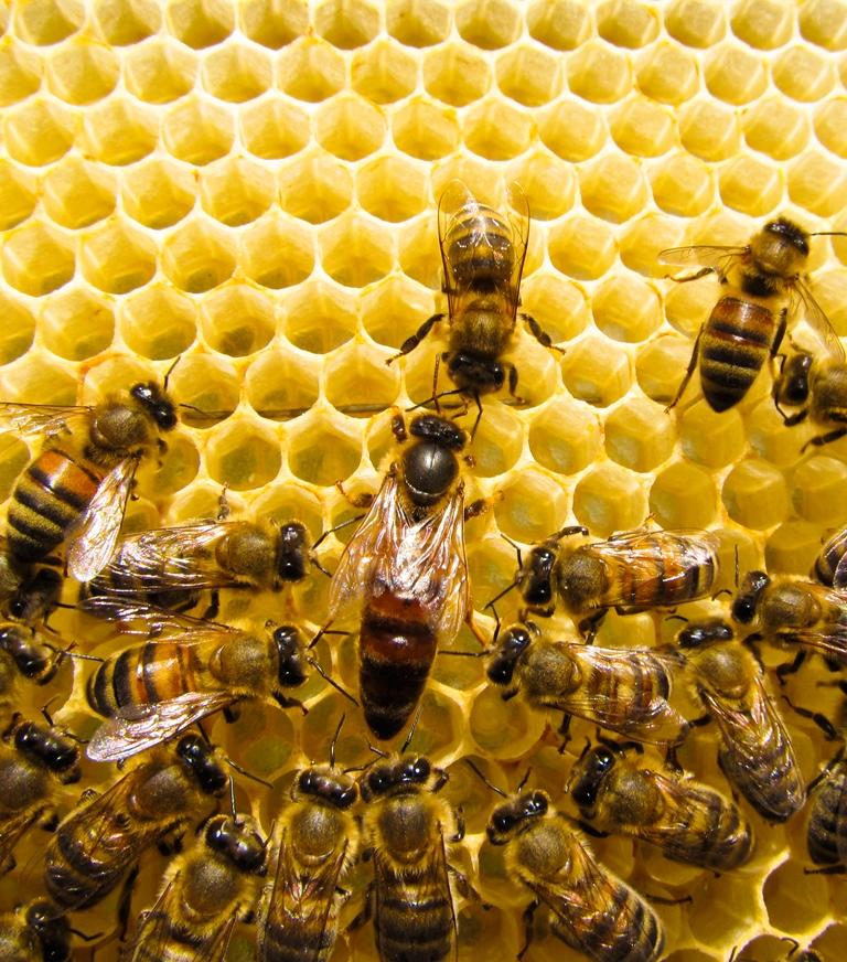 abelhas-cooperacao