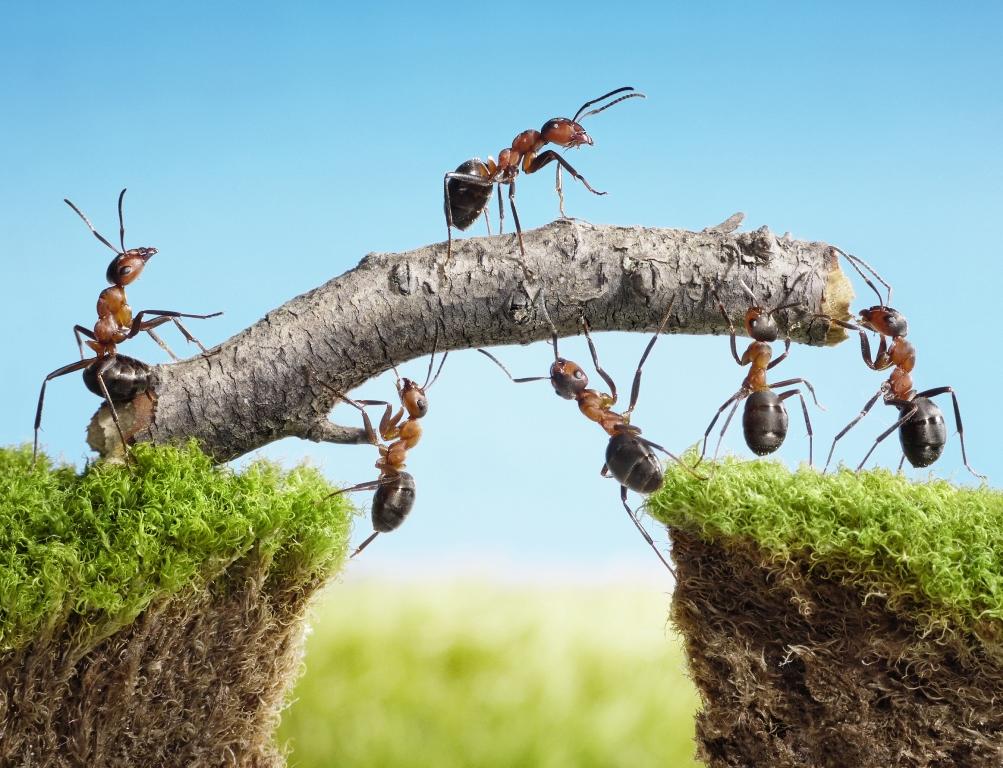 formigas-cooperacao